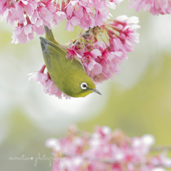 Okame cherryとメジロさん♪♪。.:*・゜