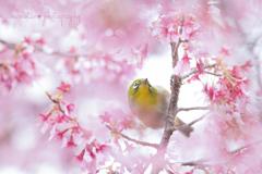 Okame cherryとメジロさん♪。.:*・゜