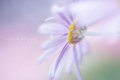 Paris daisy☆.。.:*・