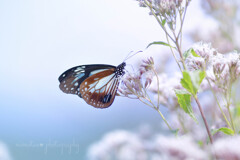 mystic butterfly☆.。.:*・