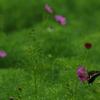咲き掛けコスモス