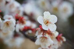 春告草の香り
