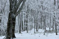 ブナ原生林の雪化粧Ⅱ