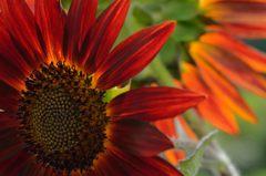 赤い太陽の花