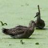 エリマキシギ 幼鳥と親