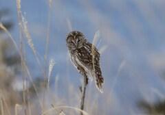 草原のフクロウ