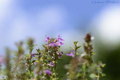 夏空と麝香草