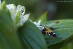 白花杜鵑草とオオスカシバ Ⅱ