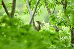 緑啄木鳥 Ⅱ
