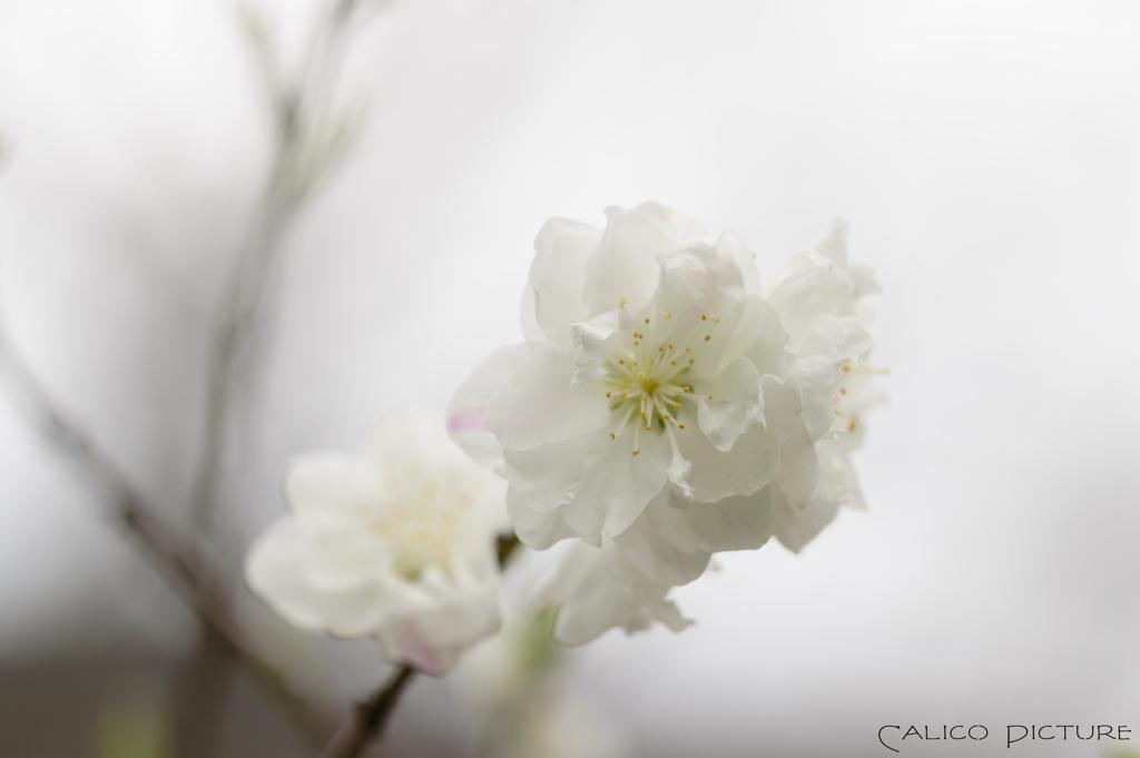 花桃咲いた Ⅰ