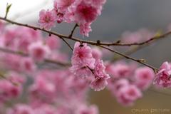 花桃咲いた Ⅱ