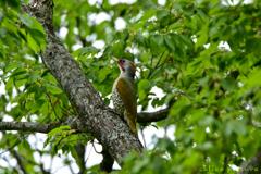 緑啄木鳥 Ⅰ
