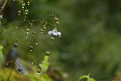 雨の日の開花 Ⅰ