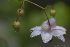 雨の日の開花 Ⅱ