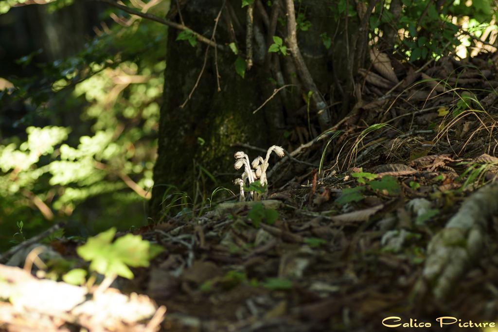 秋の銀竜草