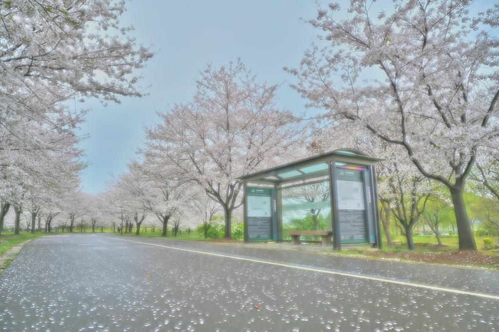 バス停と桜並木