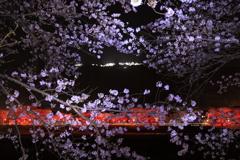 竹田城跡 ライトアップと桜