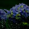 紫陽花-Ⅱ