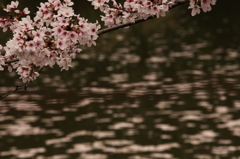 銀の馬車道 桜