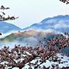 竹田城跡 雲海と桜