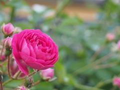 庭先の花 キングローズ