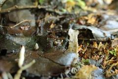 落葉のウスイロオカチグサ