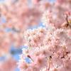 満開の枝垂桜