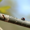支那沢胡桃の並瓢虫