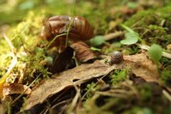 枯葉のカタツムリ