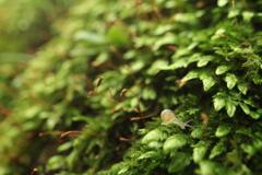 苔の森のカタツムリ