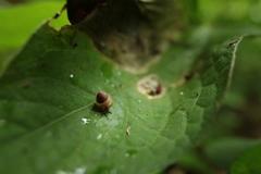 葉上のカタツムリ