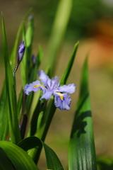 シャガの咲く季節