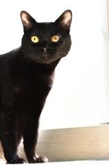 美しい黒猫