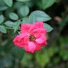 赤い花(大橋直久)