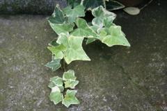 緑の葉っぱ(大橋直久)