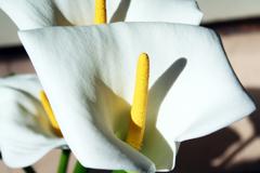 カラーの花言葉(大橋直久)