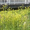 橋と菜の花(大橋直久)