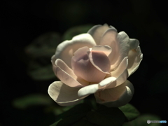 盛夏の薔薇