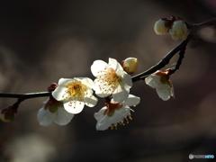 梅は咲いたが桜はまだかいな