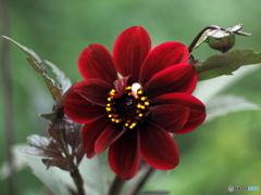花の季節 ダリアへ2