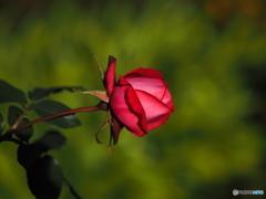 正月の薔薇