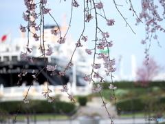 横浜桜だより