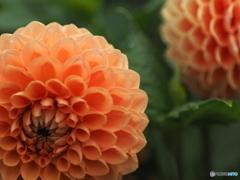 花の季節 ダリアへ