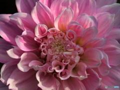 Dalia rosa