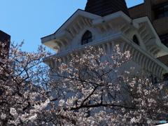 海岸協会の桜