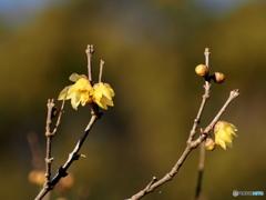 季節は移る 蝋梅