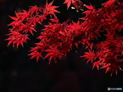 冬の赤紅葉