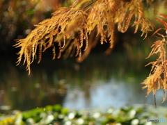 晩秋の蓮池