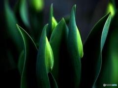 Tulipán de invierno