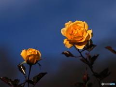冬の薔薇園